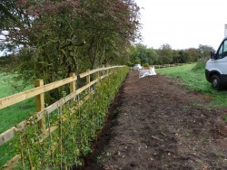 Hedge planting in Rugeley