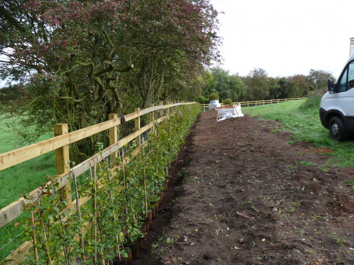 Tree and Hedge Planting in Rugeley