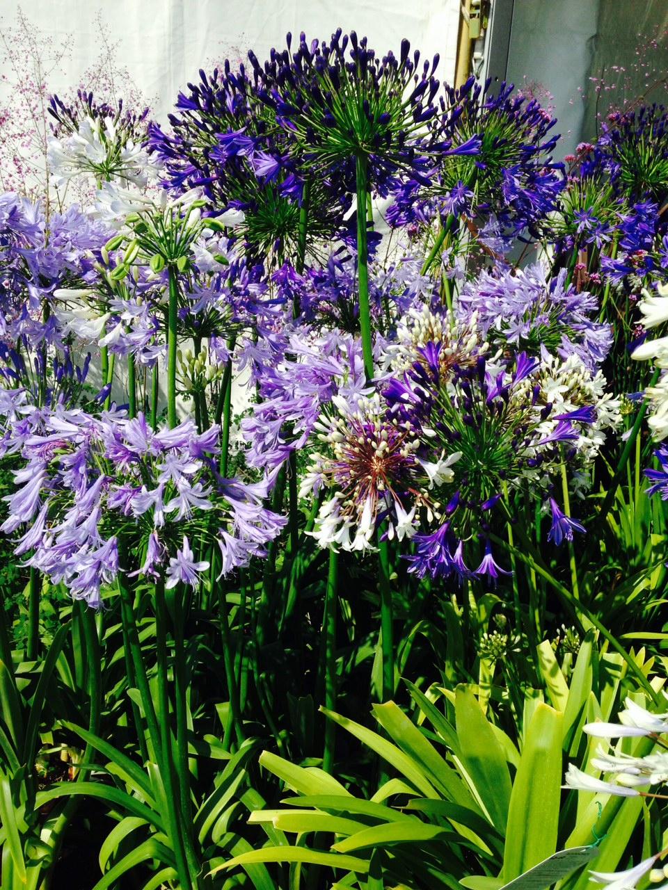 Agapanthus - Bulb Planting