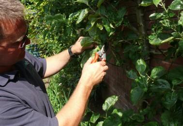 Regular Rose Bush Pruning