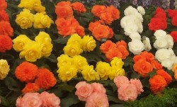Begonias on show at Tatton 2014