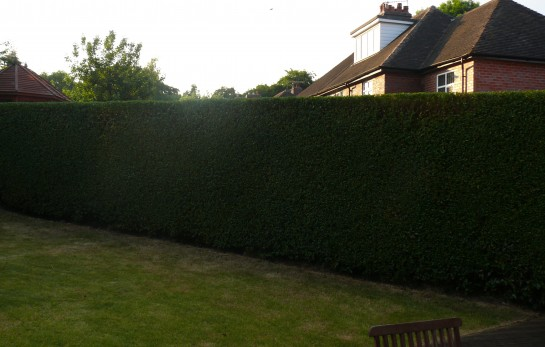 Hedge Cutting neatly sqaured