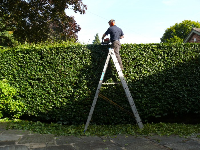 Hedge Cutting in Knutsford, Cheshire - Using Ladders