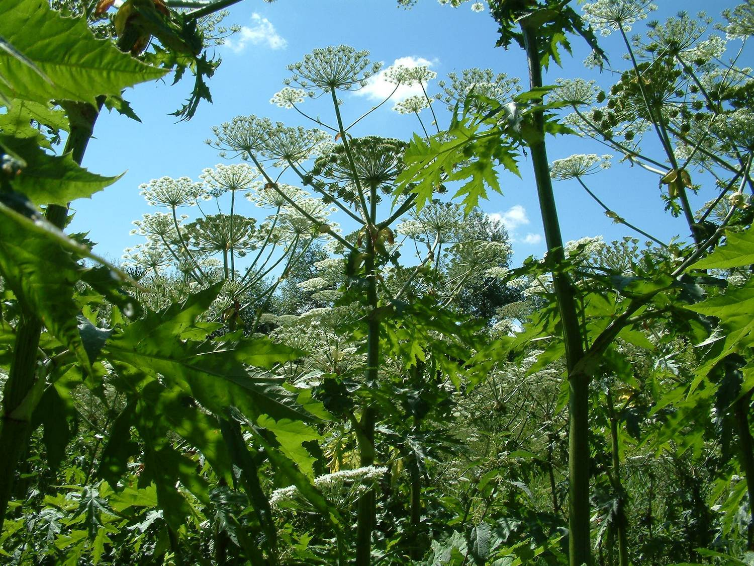 Giant Hogweed Credit RPS Group Plc