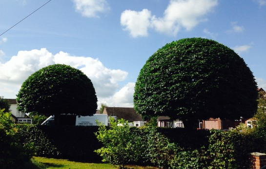Shaped Tree, Pruned, Dome 2