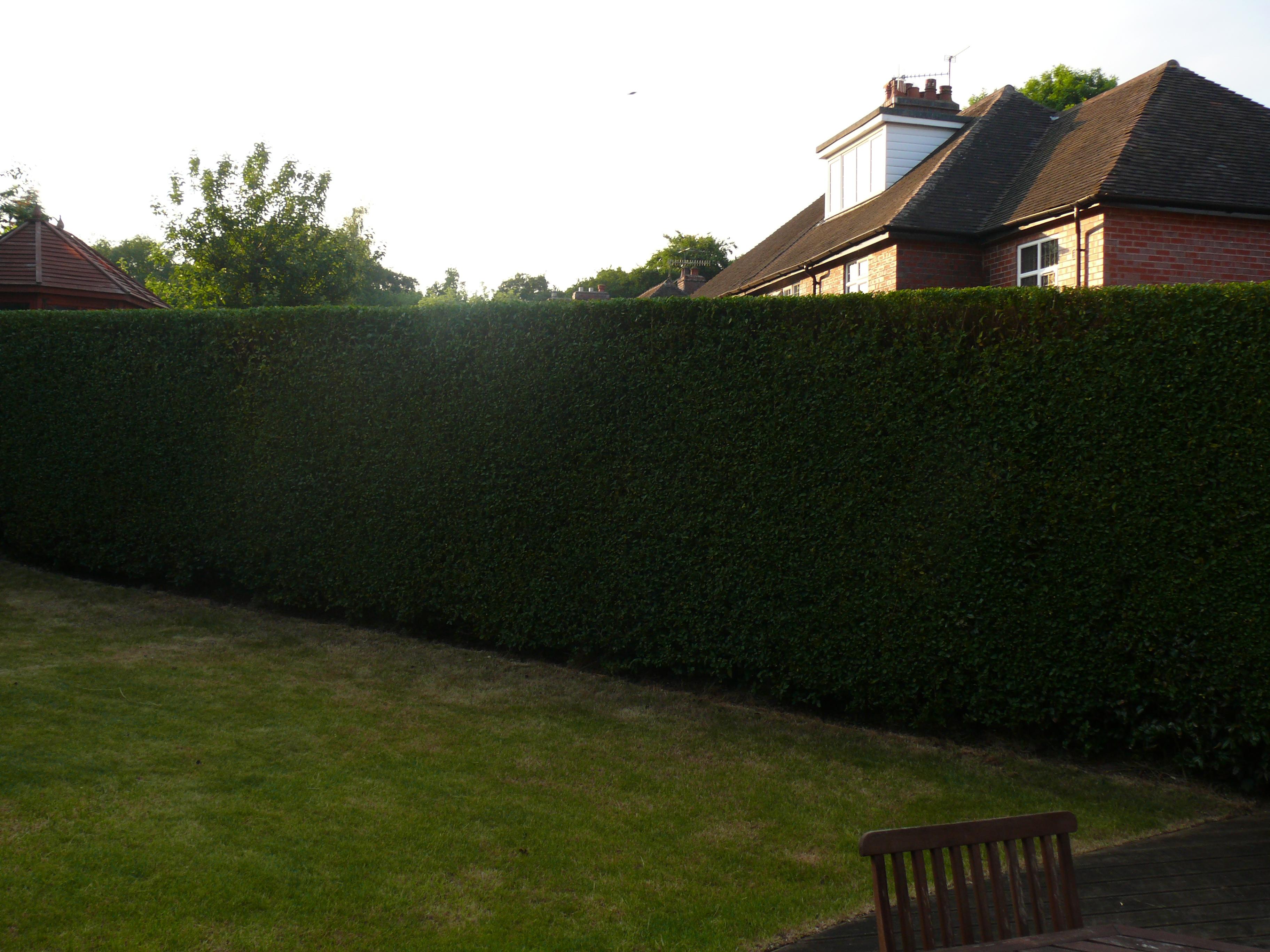 Hedge Cutting neatly sqaured